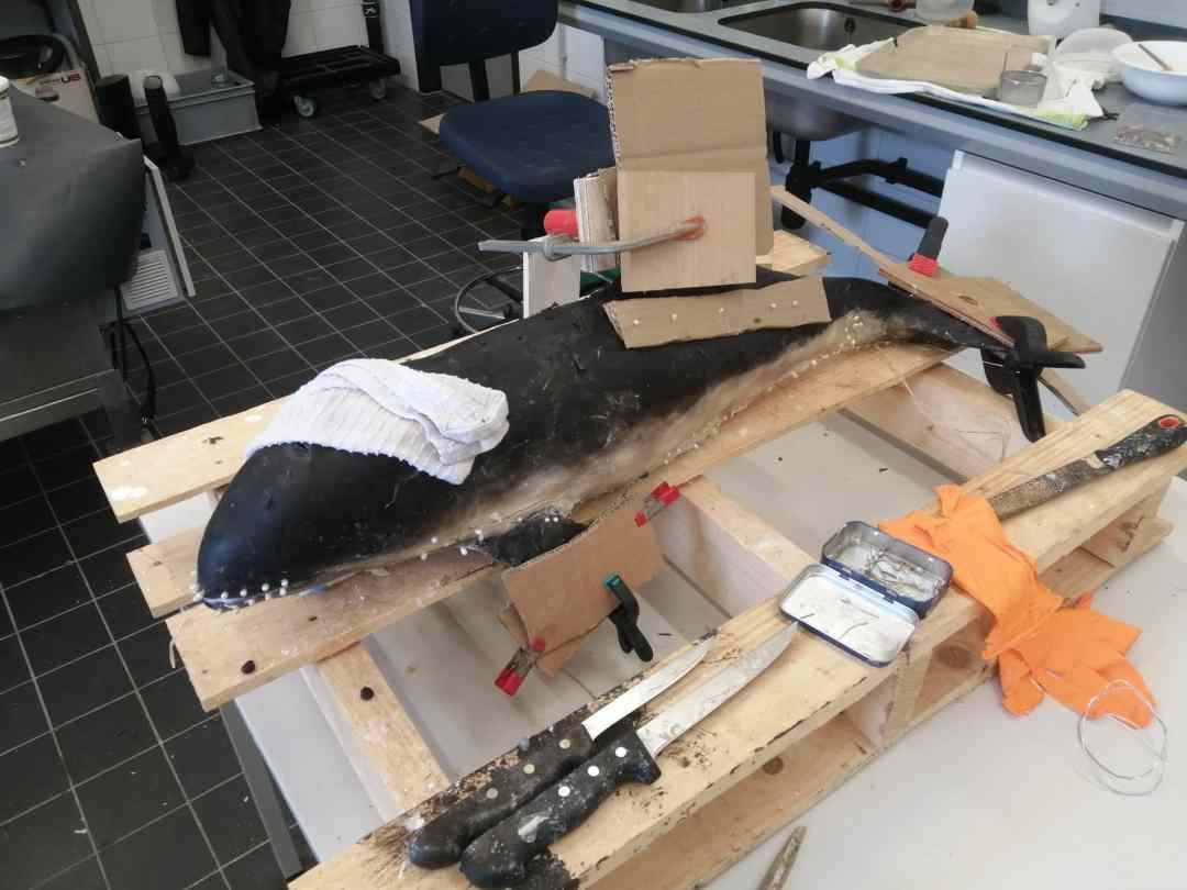 Huidpreparaten | preparatieproces bruinvis | Naturalis  Biodiversity Center