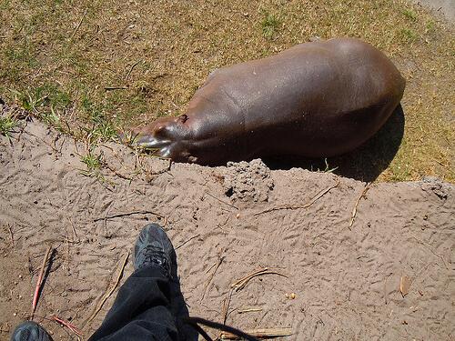 Wild Africa Trek hippo