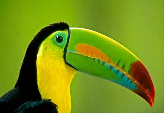 costarica-toucan-CR66 - costa rica -top ten ethical travel destinations