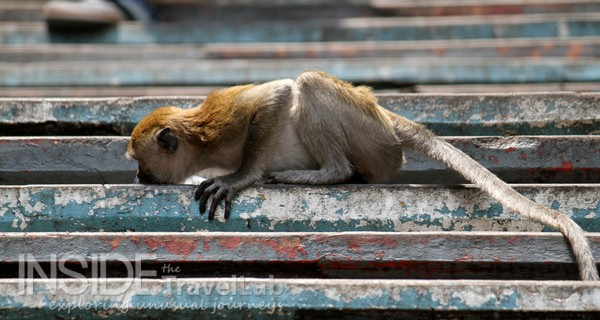 Batu monkey licking water off steps