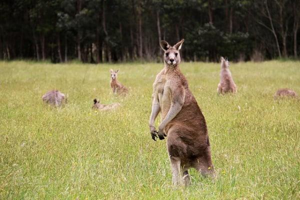 Cute photos of kangaroos