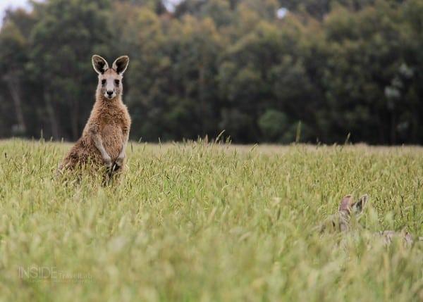 Cute Kangaroo Photos
