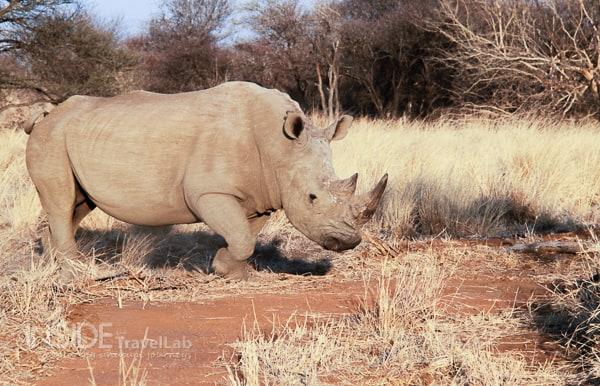 Rhino in Madikwe Game Reserve