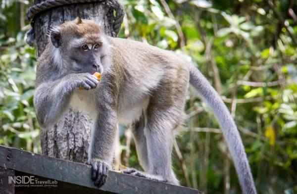 Borneo Rainforest Monkey