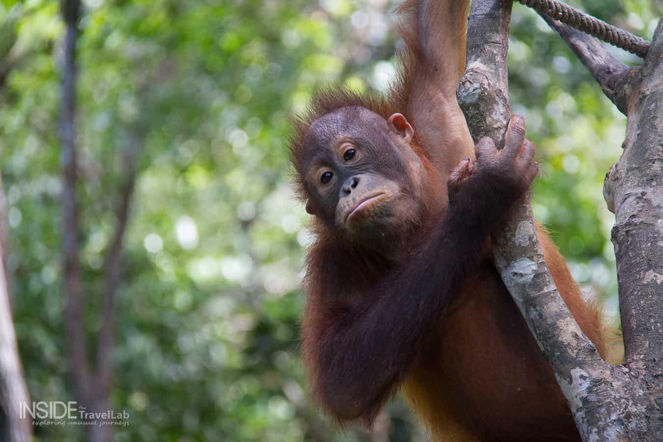 Orangutans look back in Borneo Rainforest