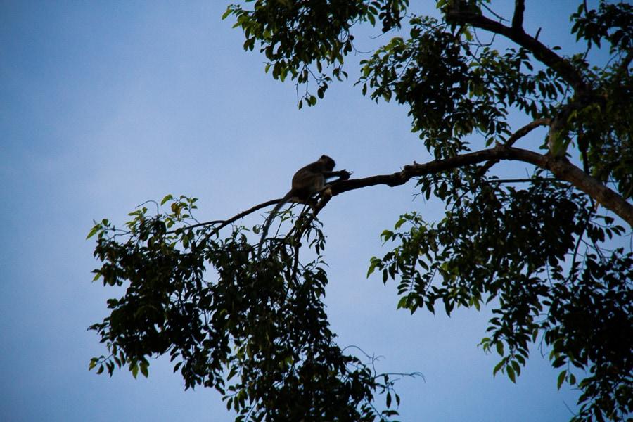 Monkey at night in Borneo