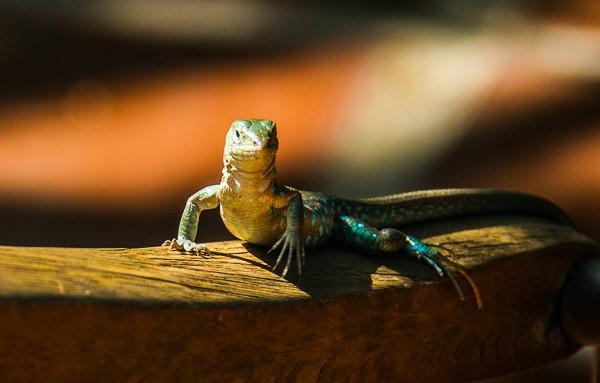 Company over breakfast - a lizard in Aruba from @insidetravellab