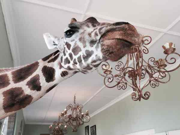 Giraffe chandelier in Giraffe Manor from @insidetravellab