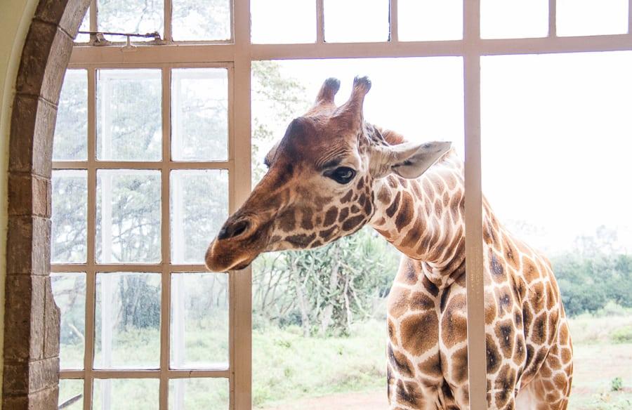 Giraffe through window at Giraffe Manor Kenya from @insidetravellab