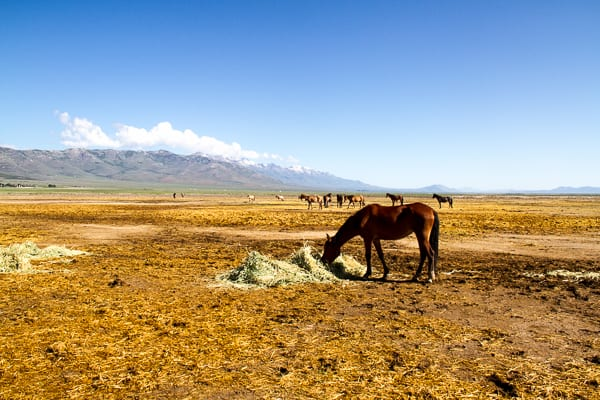 Wild horses at Mustang Monument in Nevada