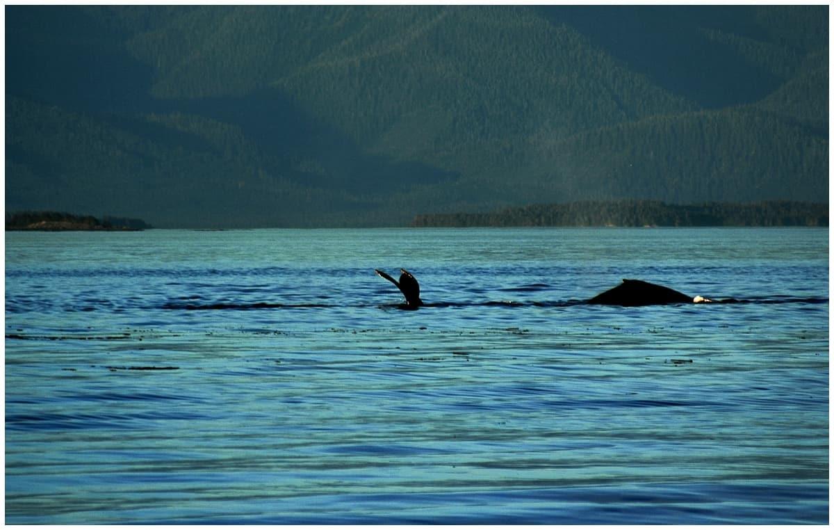 Whale watching Alaska Inside Passage