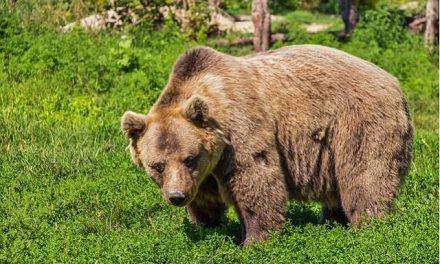 Bulle gegen Bär -Die historischen Hintergründe