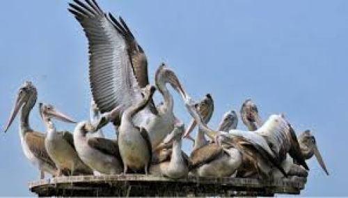 Grey Pelicans kolleru lake