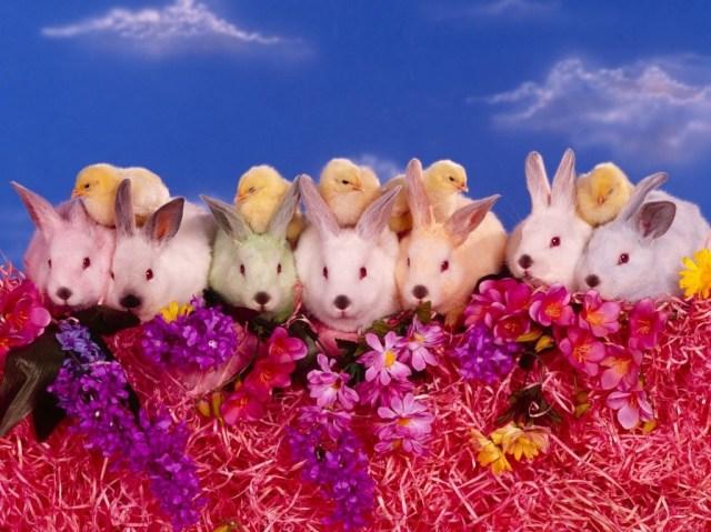 conejos_y_pollitos