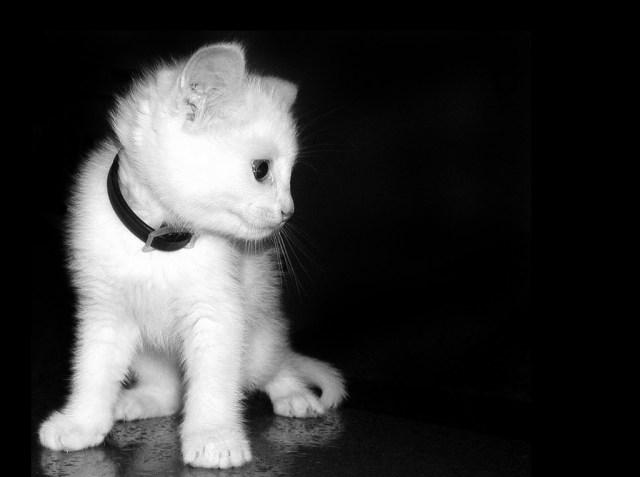 gatito_blanco