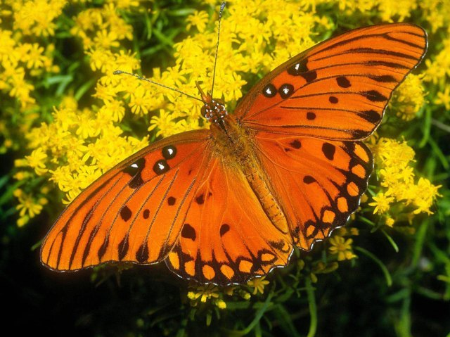 mariposa_anaranjada
