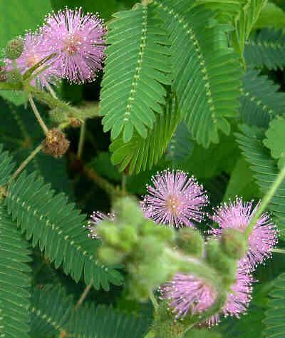 mimosapudica
