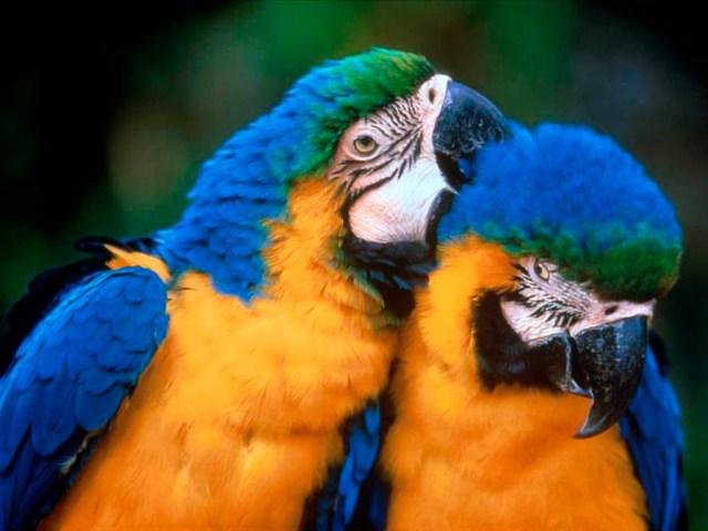 papagayos_pareja
