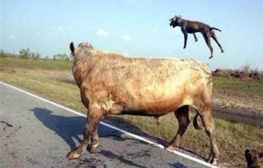 vaca-x-pitbull-02