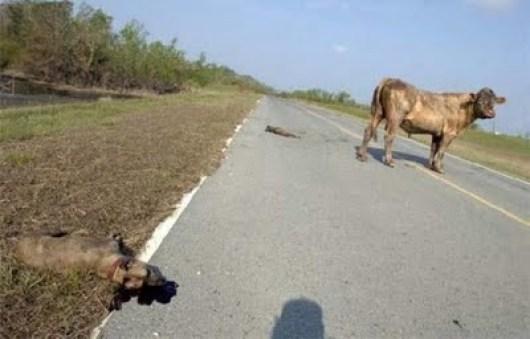 vaca-x-pitbull-04