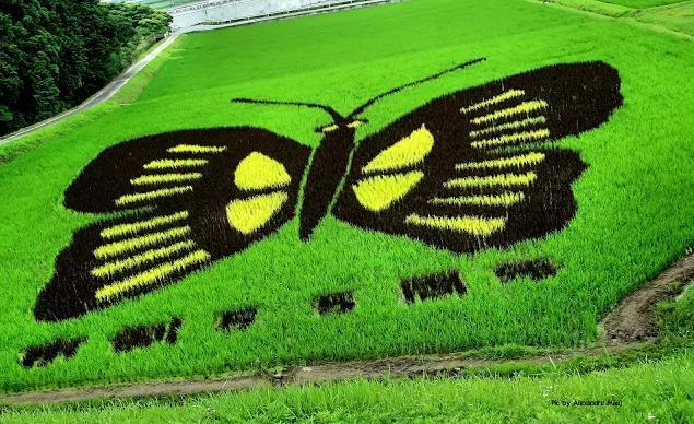 plantações de arroz no Japão 02
