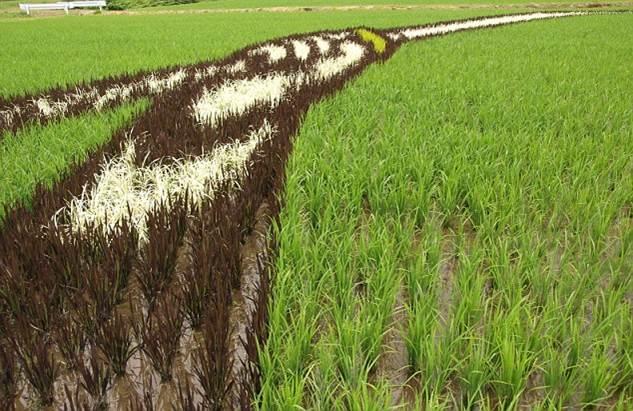 plantações de arroz no Japão 09