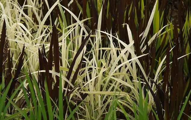 plantações de arroz no Japão 13
