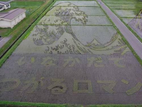 plantações de arroz no Japão 17