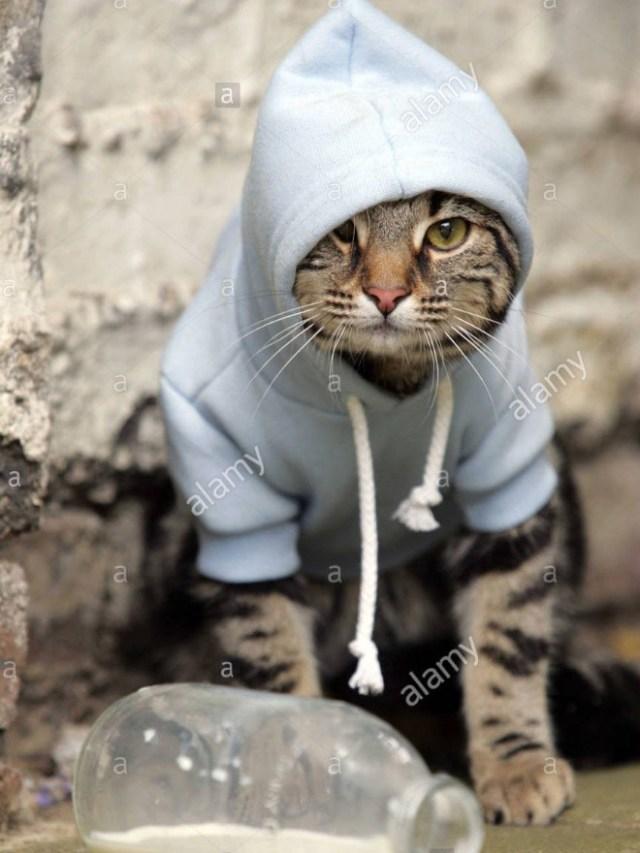 gatos usando moletom