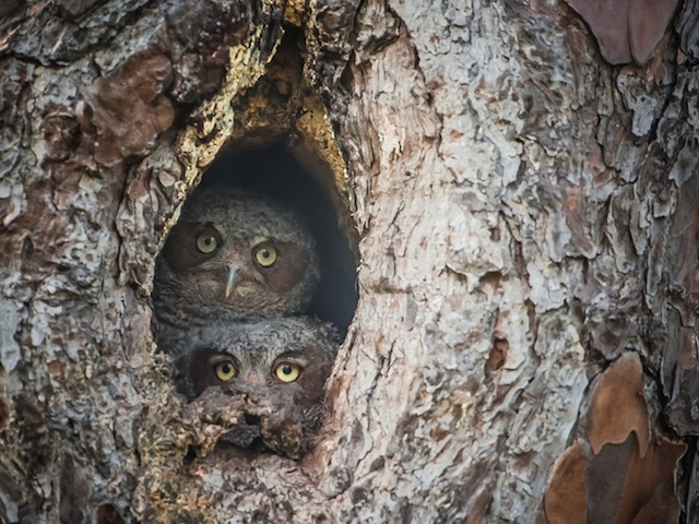Camouflaged-Owls-Within-Trees-10