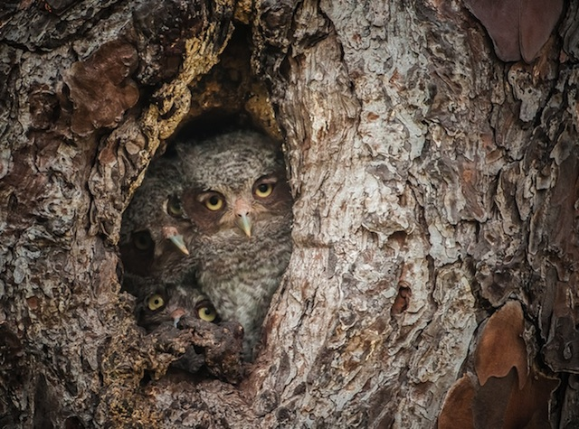 Camouflaged-Owls-Within-Trees-6