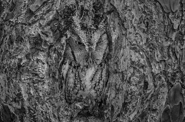 Camouflaged-Owls-Within-Trees-7