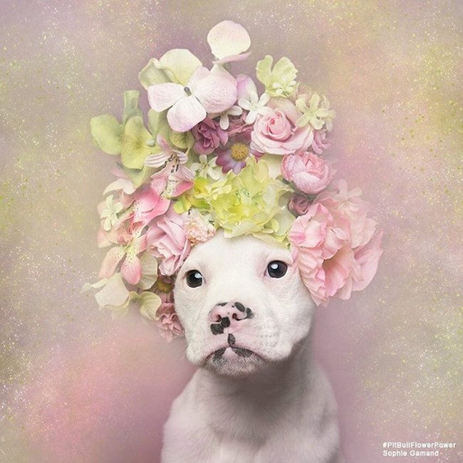 pit-bull-flower-power-sophie-gamand-02