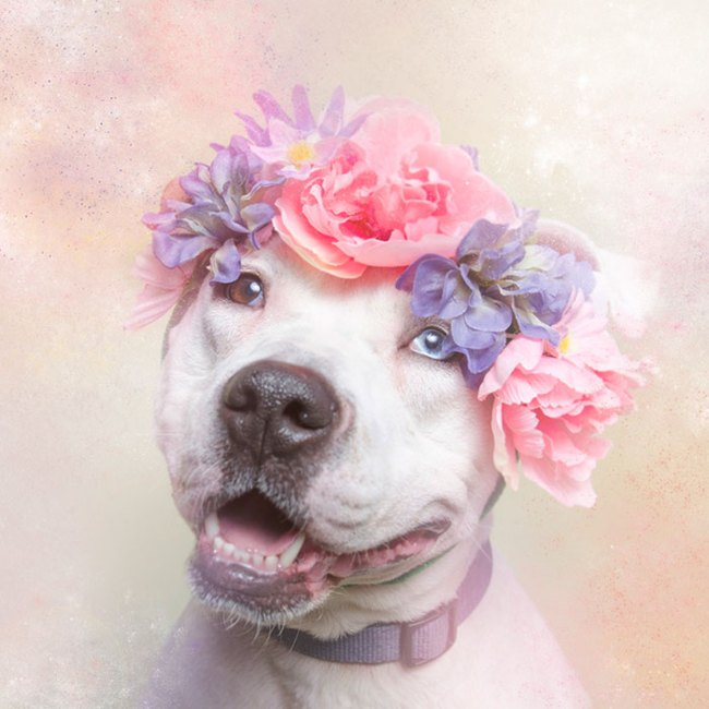 pit-bull-flower-power-sophie-gamand-03