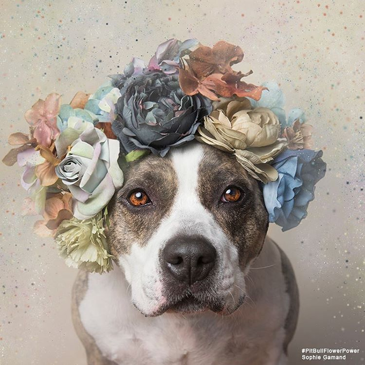 pit-bull-flower-power-sophie-gamand-14