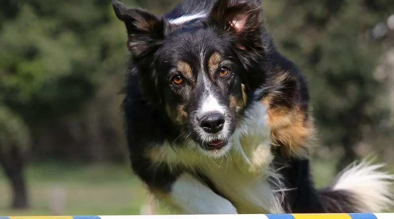 Dog Jumping Show Competition