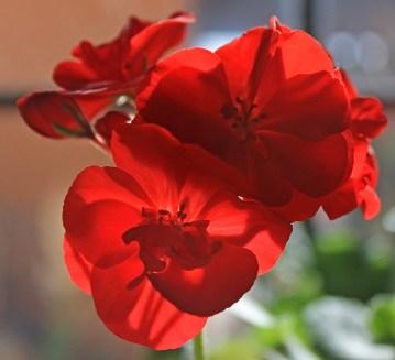 Red Geranium1500