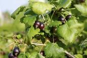 Josta berry
