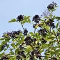 Nova Black Elderberry
