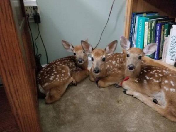 Amscolies Deer