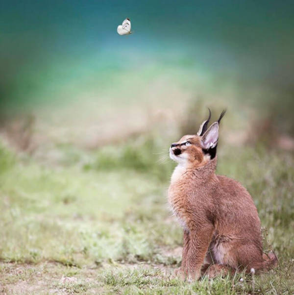 4. This cat or is it a hare, seems to be carefully observing the butterfly. Or maybe gazing in wonder.