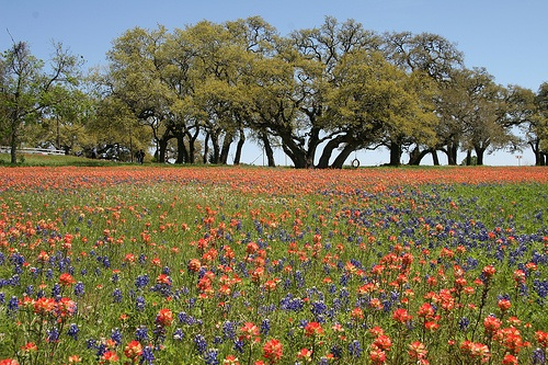 Texas springtime wildflowers! Photo Credit: jmtimages via Compfight cc