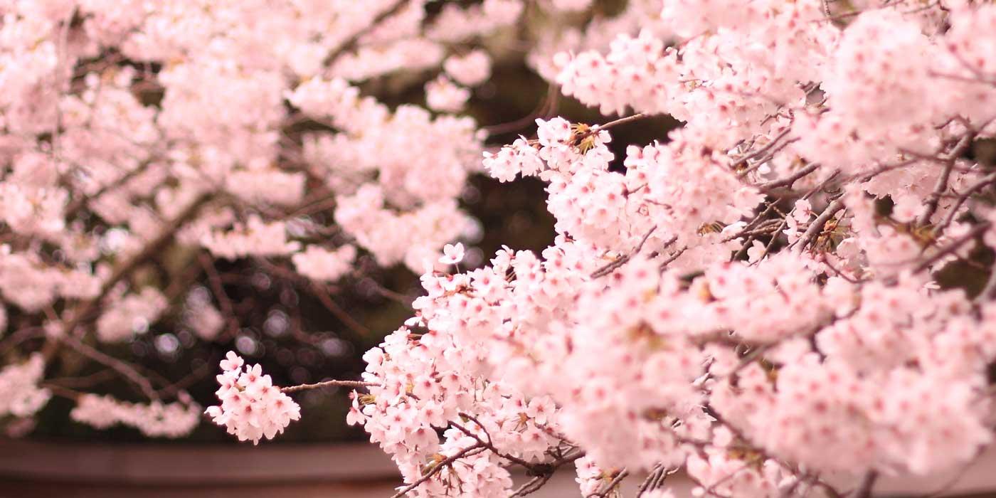 La primavera in Giappone: Hanami sakura