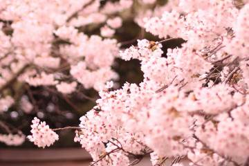 Springtime in Japan: Hanami sakura