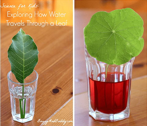 Exploring How Water Travels Through Leaves craft