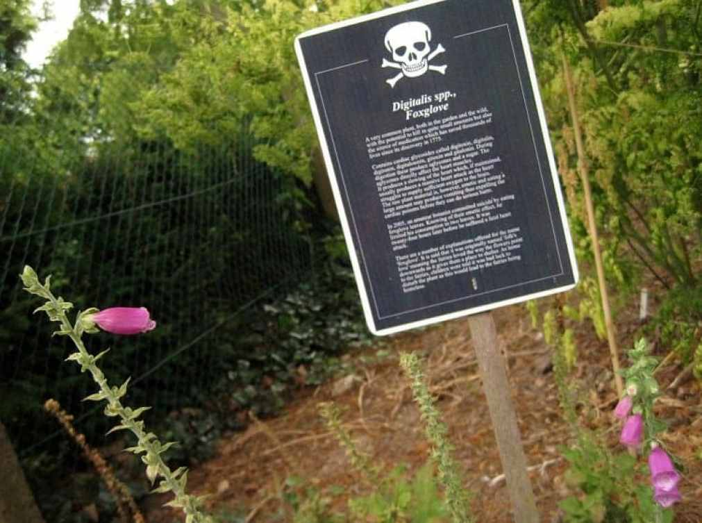 foxglove poisonous