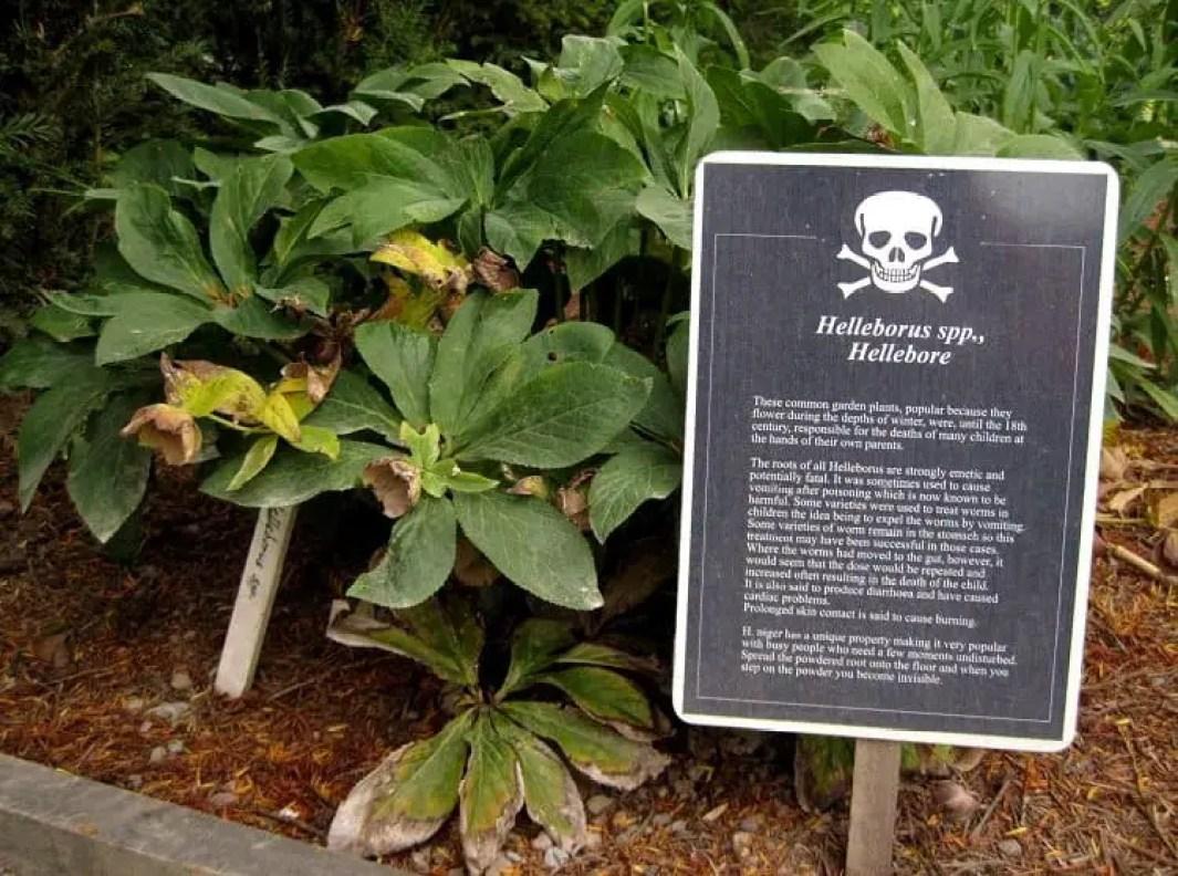 hellebore poison garden