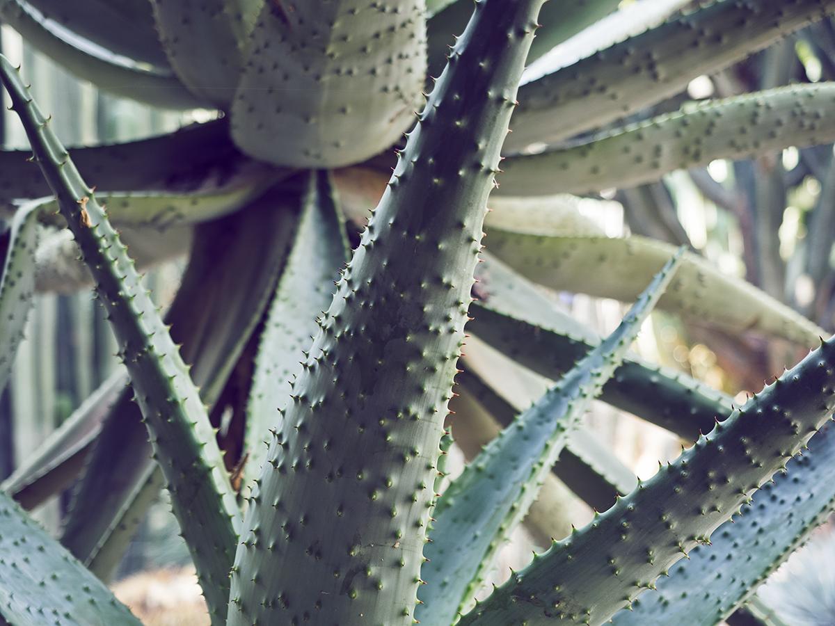 Morocco travel diary Inspiring Wit yves saint laurent jardin majorelle succulent detail