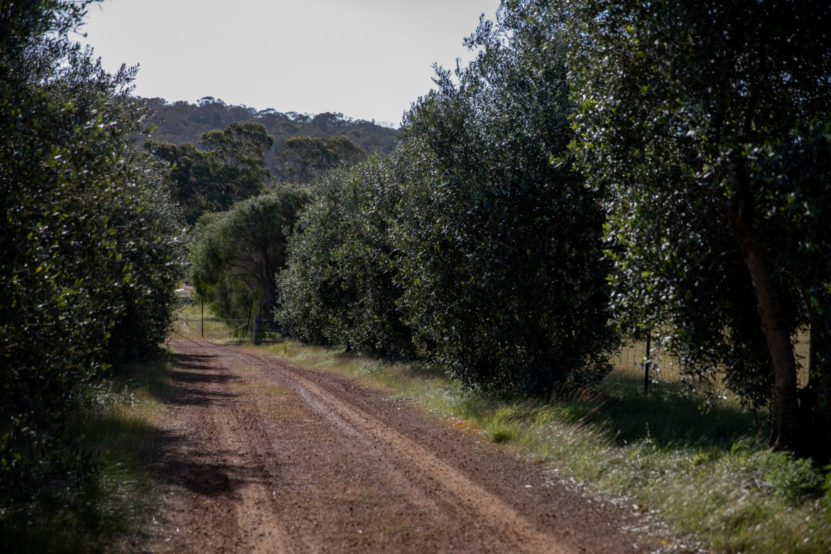 olive tree lined country road in South West Australia