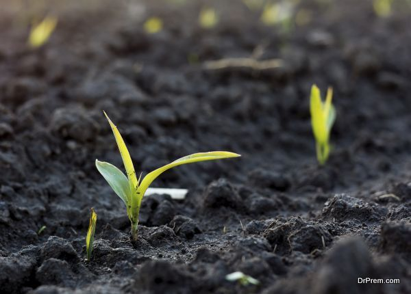 Small sprout of corn plant in black soil on a filed